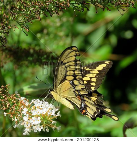The Eastern Tiger Swallowtail Butterfly in High Park of Toronto Canada August 23 2017