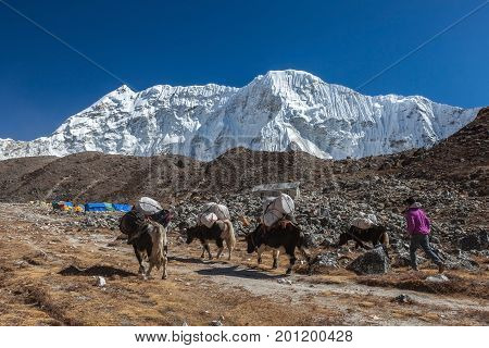 Everest Base Camp Trek/nepal - October 25, 2015: Group Of Black Nepali Yaks Carrying Their Heavy Loa