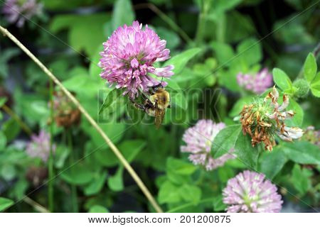 A bee gathers nectar from red clover flowers (Trifolium pratense) in the Hammel Woods Forest Preserve in Shorewood, Illinois, during July.