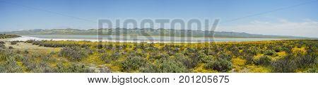 Beautiful Yellow Goldifelds Blossom With Soda Lake