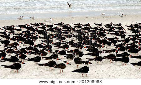 Flock of tern birds walking on the beach in Naples, Florida.