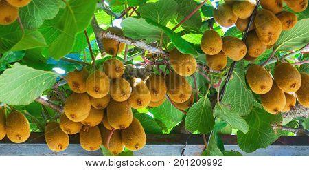 Ripe Kiwi Fruit On A Branch