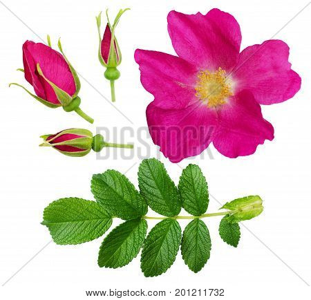 Set of wild rose flower buds and leaves isolated on white