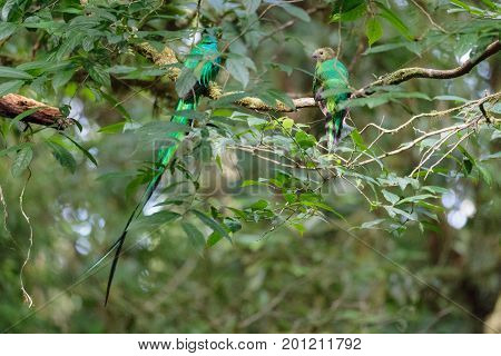 Quetzal birds wild male and female in Monteverde cloud forest reserve Costa Rica