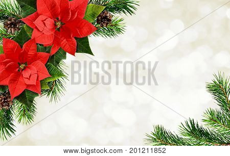Red poinsettia flowers and Christmas tree branches corner arrangement on white holiday background. Flat lay. Top view.