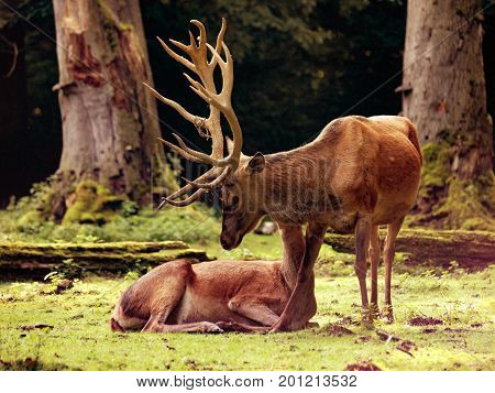 Red deer with hind on a clearing in the woods