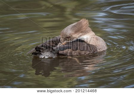 Close up of a female hooded merganser on the water preening
