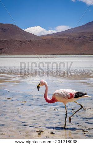 Pink Flamingos In Laguna Honda, Sud Lipez Altiplano Reserva, Bolivia