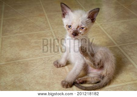 A siamese blend feral kitten tries to scratch an itch. He has lots of eye goop from his congenital herpes infection. poster