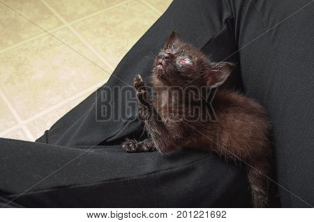 A dark colored feral kitten with a congenital herpes eye infection looks up with one paw extended Heavenward.