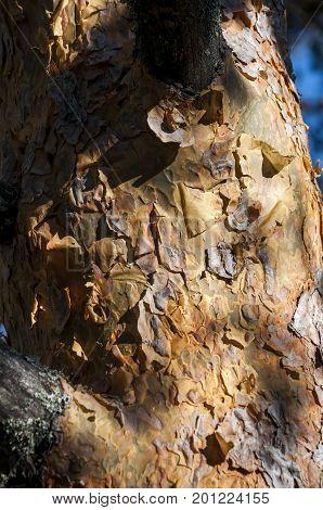 Bark of Scots pine tree, Pinus sylvestris