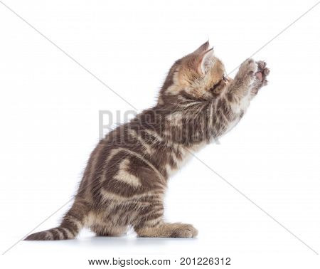 Playful Scottish Straight kitten side view isolated over white background