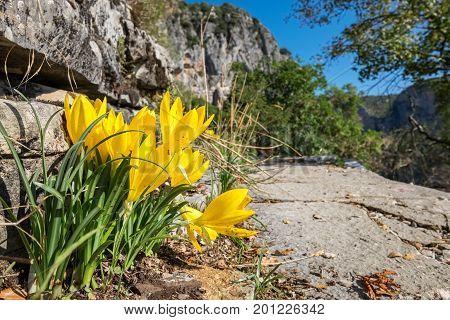 Blooming yellow crocuses on the footpath along edge of Vikos gorge near Monodendri. Zagoria Epirus Greece