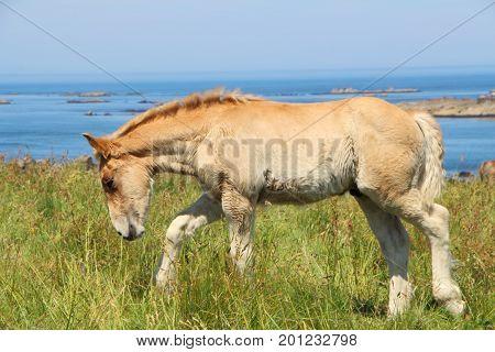 Trait Breton foal in a field in Brittany