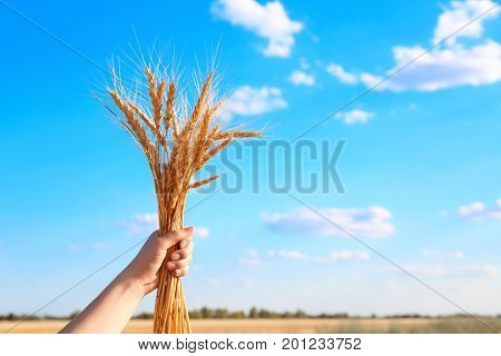 Woman holding bunch of spikelets on blue sky background