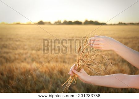 Woman holding bunch of spikelets in field