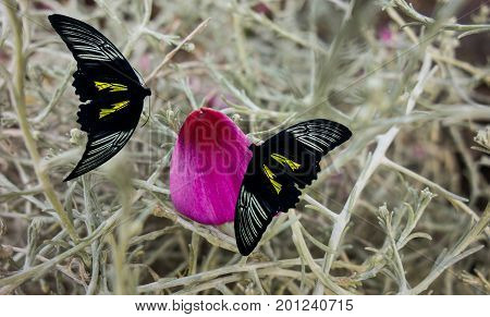 Two Tropical Butterflies Troides Helena on the Pink Petal