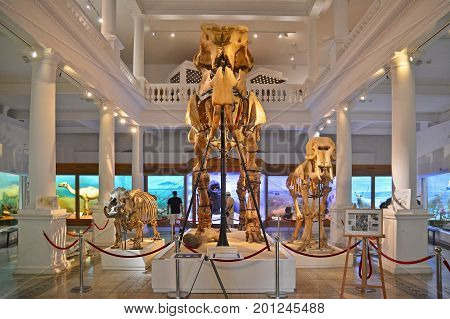 Bucuresti Romania - July 29 2014: A giant prehistoric elephant skeleton displayed at the National Museum of Natural History. Shot taken on July 29th 2014