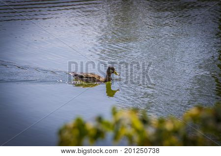 A female mallard looking for his couple.