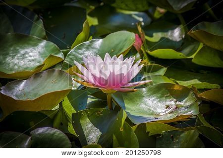 Pink water lily hover on the water in the sunshine.