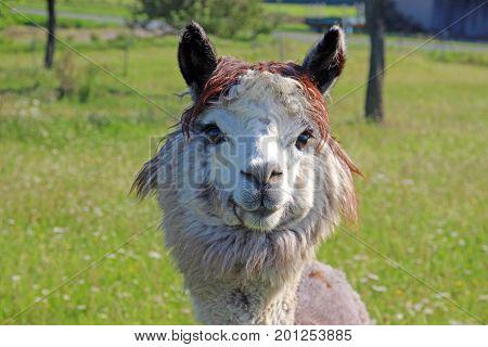 gray alpaca on a green pasture looking into camera
