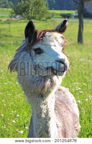 gray alpaca on a green pasture closeup