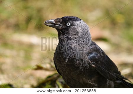 A Jackdaw licking food from it's beak with it's black tongue