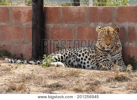 Leopard nodding start of a nap in the shade.