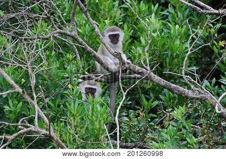 Vervet monkeys, partially hidden in a tree, looking at us