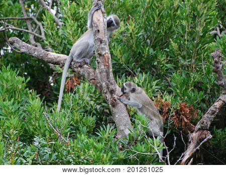 Two vervet monkeys playing in the tree