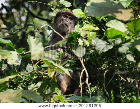 red colobus monkey hiding in a tree, a rare sight!