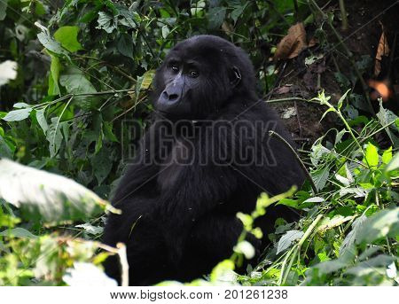 female mountain gorilla looking peaceful and at ease.