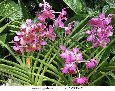 Vanda Usha Narayanan hybrid orchid flower and plant