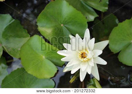 White water Lily (lotus) and green leaf (lily pad) in pond in the garden with copy space for text.