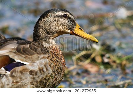 A male mallard duck in eclipse plumage during moulting