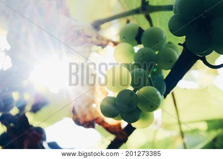 Colorful picture of green fresh grape with its yellowed leaves growing in sun-drenched vineyard somewhere in countryside. Photo made in macro style.