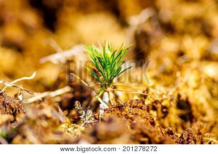 Small pine tree growing in bog area