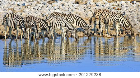 Large Herd / Dazzle of Burchells Zebra drinking from a waterhole with a natural reflection in the still water in Etosha National Park Namibia