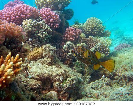 Cubic Boxfish