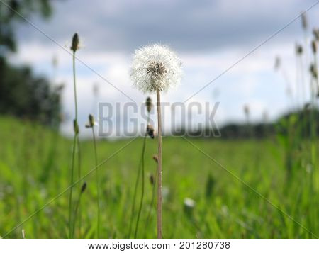 They say dandelion wishes make dreams come true.