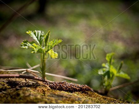 Youn sprouting plant in the spring forest.