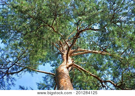 Pine tree close up in the Karelian Isthmus Russia.