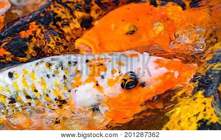 Carp With Black And Orange Bursts And Some Orange Carps On Background