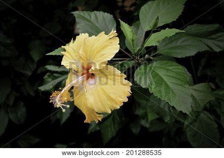 yellow flower green leaf a Stamen petal yellow Bush green