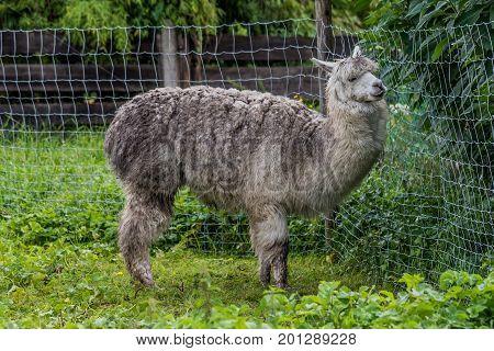 Gray alpaca standing alone in a farm