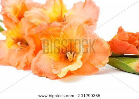 bouquet Beautiful gladiolus flower on white background