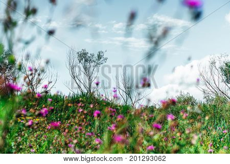 Beautiful meadow with green native grasses lilac flowers and sky of delicate blue colour small partly dry trees Altai mountains Russia