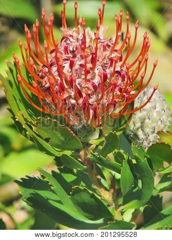 A RED PINCUSHION PROTEA, NATIVE TO ZIMBABWE AND SOUTH AFRICA