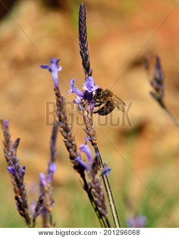 Bee on the small flowers of lavandula canariensis