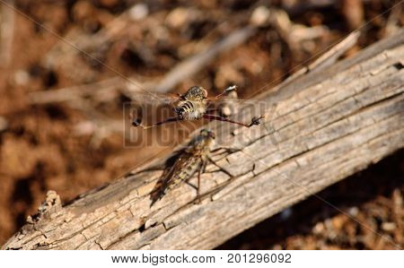 Acrobatics in mid-flight during mating season, robber fly